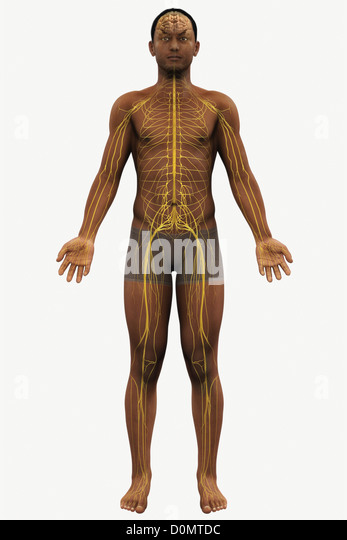 Human Body Anatomy Organs Full Figure Stock Photos & Human ...