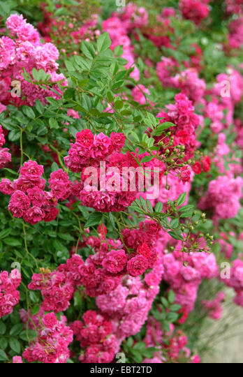 double flowered cultivar stock photos double flowered. Black Bedroom Furniture Sets. Home Design Ideas