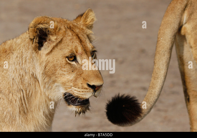 Lion Tail Stock Photos & Lion Tail Stock Images - Alamy