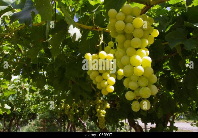 In an orange river irrigated vineyard near upington stock image