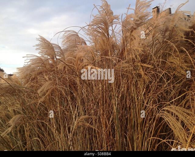 Tall ornamental grass stock photos tall ornamental grass for Very tall ornamental grasses