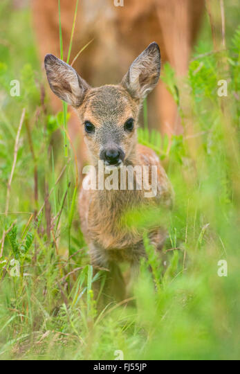 Roe Deer Capreolus Fawn In A Meadow Germany Brandenburg