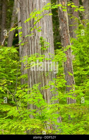 Red Cedar Forest ~ Thuja stock photos images alamy