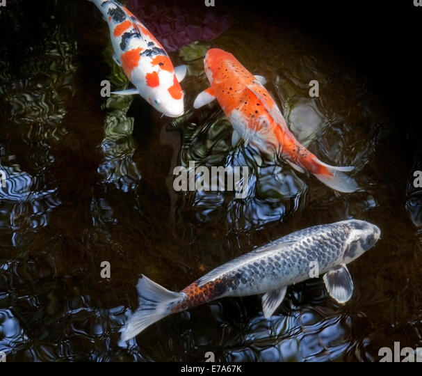 Japanese fishes stock photos japanese fishes stock for Japanese ornamental fish