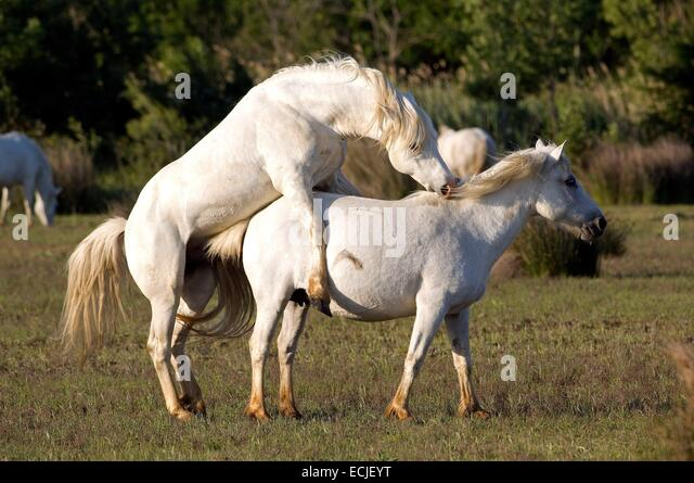 Stallion Mating Stock Photos & Stallion Mating Stock ...