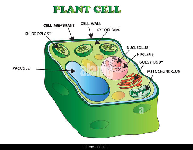 Plant Cell Nucleus Stock Photos & Plant Cell Nucleus Stock ...