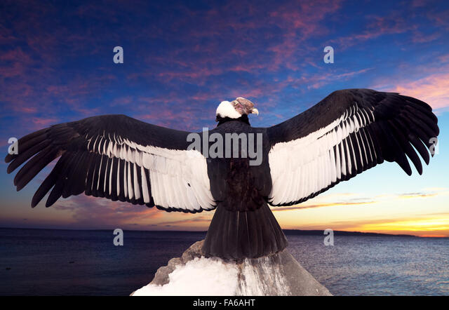 Condor Feathers Stock Photos & Condor Feathers Stock Images - Alamy