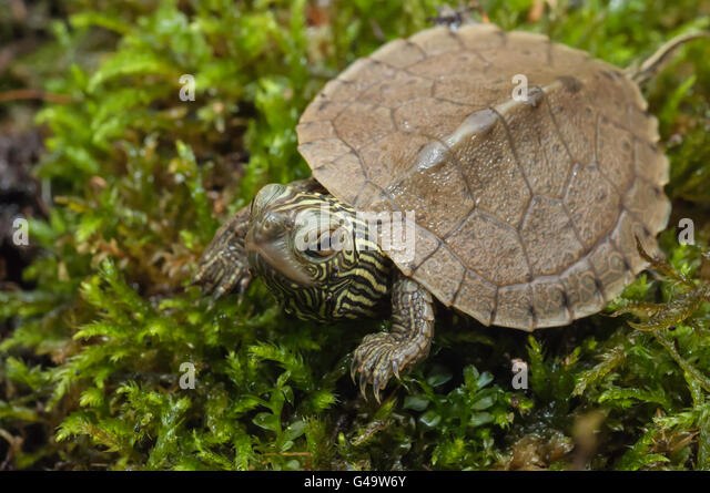 Common Northern Map Turtle Graptemys Geographica Native To Eastern And Central United