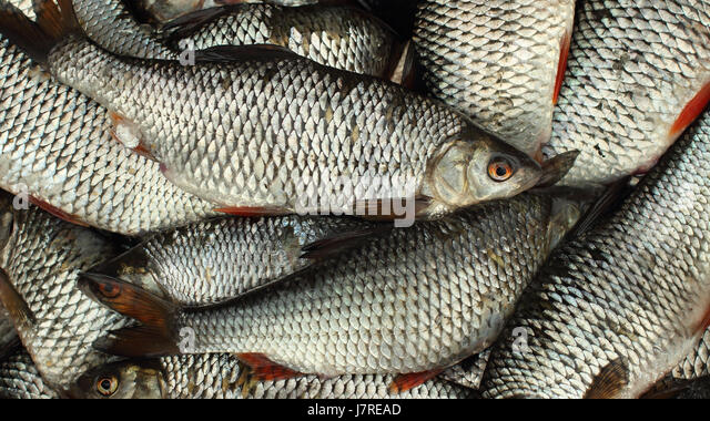 Rutilus rutilus stock photos rutilus rutilus stock for Live fish basket