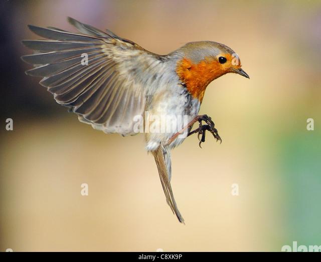 american robin bird flying - photo #44