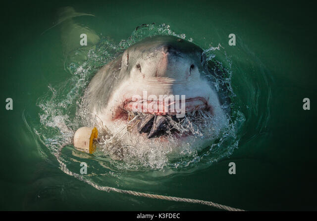 "jaws great white shark and steven This true story was the inspiration for jaws: in 1916, a large shark made its way   meg by steve alten  of california, where great white sharks can be observed  feeding once a year, during what is known as ""shark season."