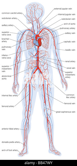jugular vein cardiac stock photos & jugular vein cardiac stock, Muscles