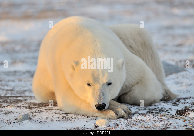 polar bear ursus maritimus lying down at frozen tundra looking at camera