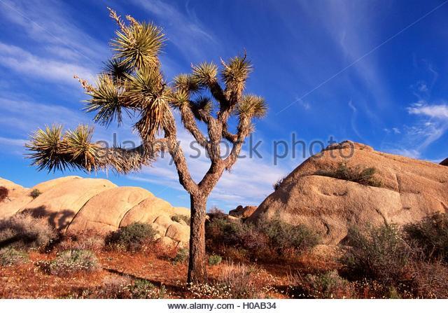 yucca palme stock photos yucca palme stock images alamy. Black Bedroom Furniture Sets. Home Design Ideas