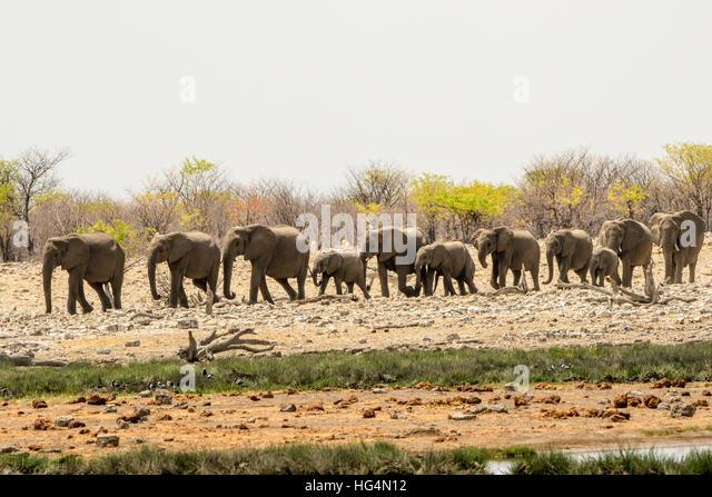 elephants walking line stock photos amp elephants walking