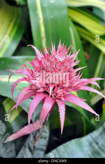 Aechmea fasciata urn plant stock photos aechmea fasciata for Aechmea fasciata