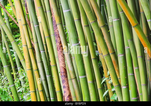 phyllostachys bissetii stock photos phyllostachys bissetii stock images alamy. Black Bedroom Furniture Sets. Home Design Ideas