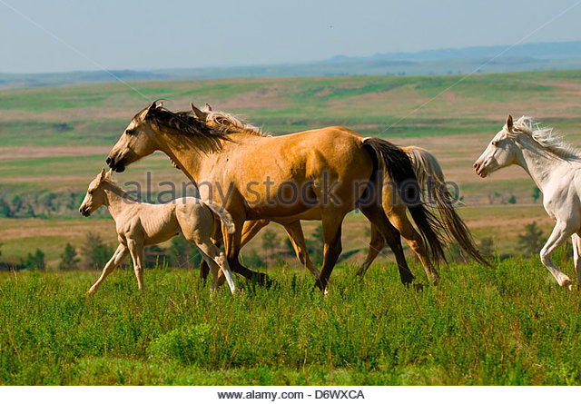 Wild Mustangs Running Stock Photos Amp Wild Mustangs Running