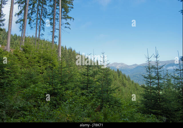 Mountains with coniferous forest and natural regeneration. - Stock Image