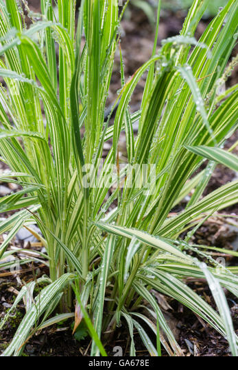 Molinia stock photos molinia stock images alamy for Variegated grass with purple flower