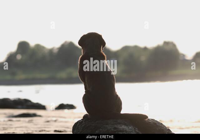 sitting labrador retriever stock image