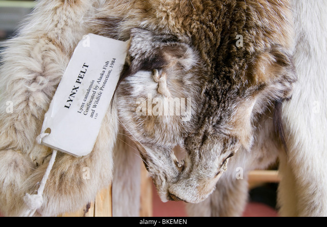 A Confiscated Lynx Pelt That Was Hunted Illegally In Alaska