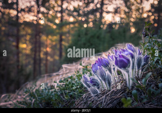 Very rare pulsatilla patens flower in the evening light and nice - Stock Image