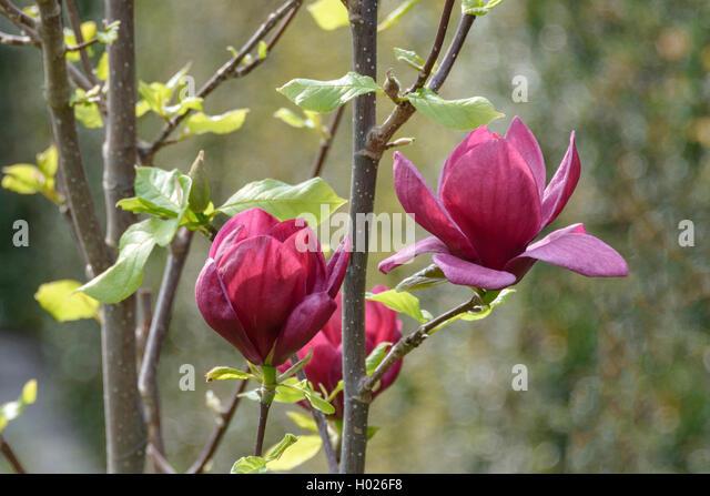 purpur magnolie purpurmagnolie genie magnolia genie stock. Black Bedroom Furniture Sets. Home Design Ideas