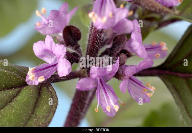 basilikum ocimum basilicum stock photos basilikum ocimum