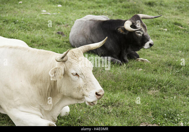 Angry Bull Farm Stock Photos & Angry Bull Farm Stock ...