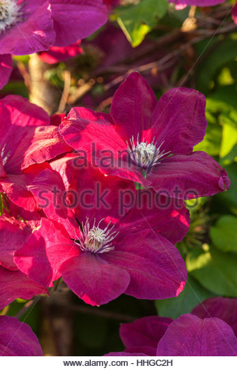 late flowering clematis stock photos late flowering. Black Bedroom Furniture Sets. Home Design Ideas
