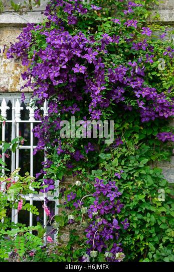 clematis viticella etoile violette stock photos clematis. Black Bedroom Furniture Sets. Home Design Ideas