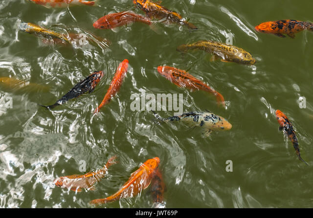 Colourful fish swimming stock photos colourful fish for Colourful koi fish