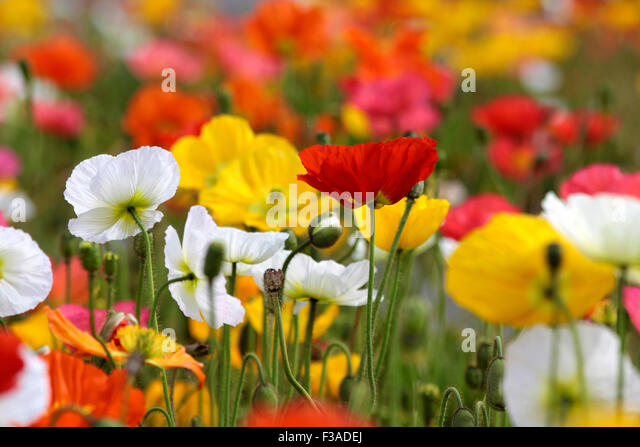 colorful poppies in government gardens stock photos  colorful, Beautiful flower