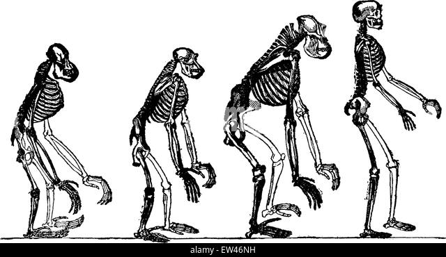 chimpanzee skeleton stock photos & chimpanzee skeleton stock, Skeleton