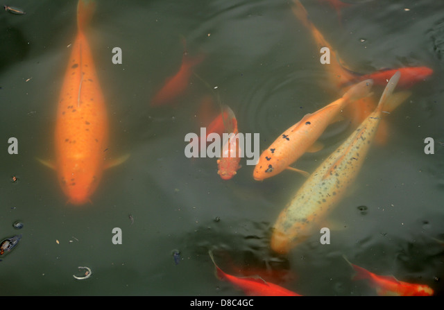 School of carp stock photos school of carp stock images for Koi swimming