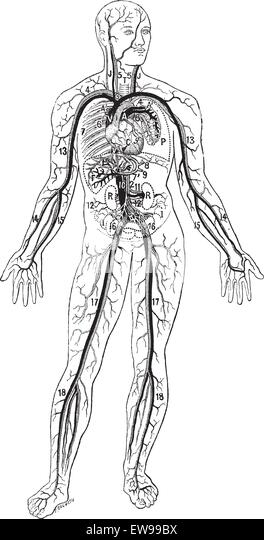 circulatory diagram stock photos  u0026 circulatory diagram