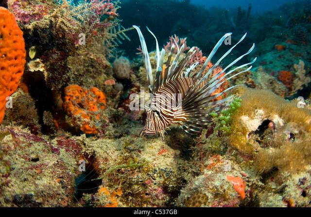 Invasive species lionfish stock photos invasive species for Invasive fish in florida