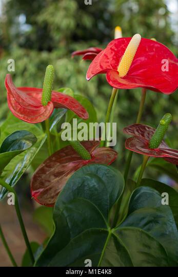 Anthurium andreanum stock photos anthurium andreanum - Anthurium turenza ...