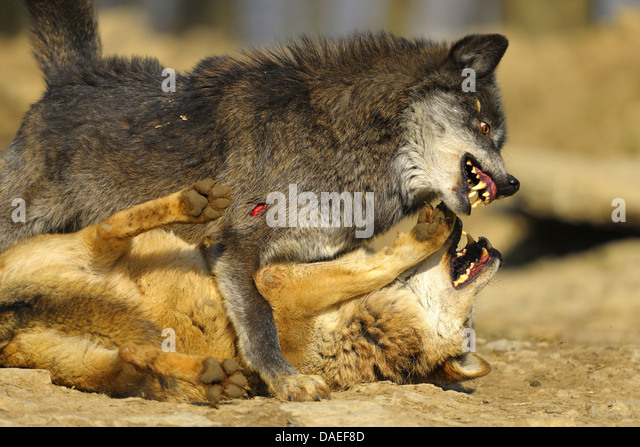 Anime wolf mating
