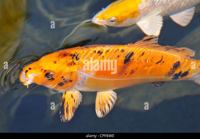 Carp breeding stock photos carp breeding stock images for Carpe koi reproduction