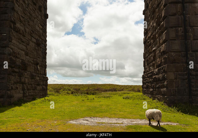 UK, England, North Yorkshire, sheep at Ribblehead Viaduct - Stock Image