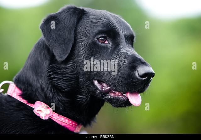 Gun Dog Head Stock Photos & Gun Dog Head Stock Images - Alamy