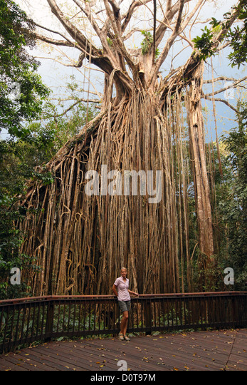 Fig Tree With Aerial Stock Photos & Fig Tree With Aerial Stock ...
