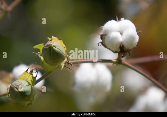 cotton plant mature women personals Watch white panties slutload is the world's largest free porn community.