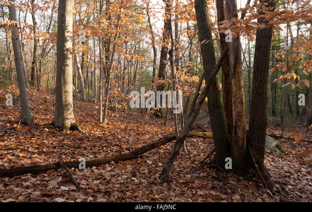 Beech Maple Forest ~ Autumn temperate deciduous forest stock photos