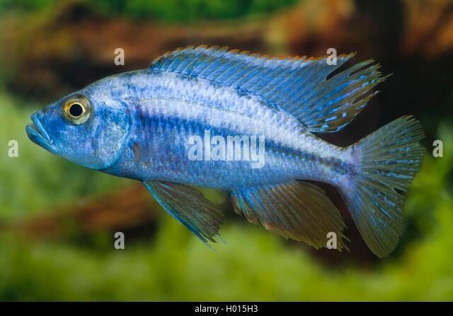Buntbarsch stock photos buntbarsch stock images alamy for Malawi buntbarsch