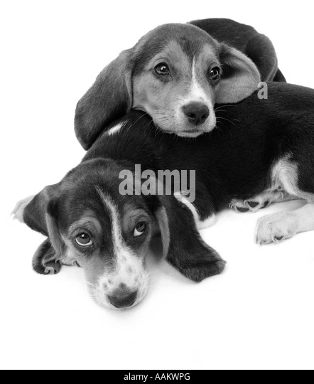 Amazing Two Beagle Adorable Dog - 1960s-two-adorable-sad-eyed-beagle-puppies-lying-one-on-top-the-other-aakwpg  Best Photo Reference_603969  .jpg