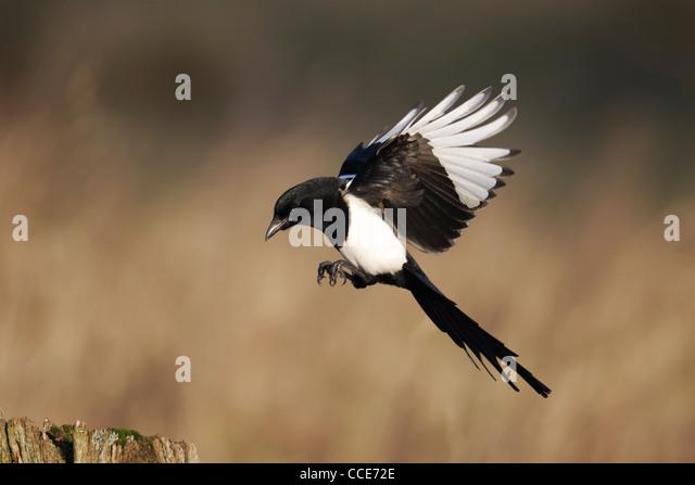 Magpie landing - photo#19