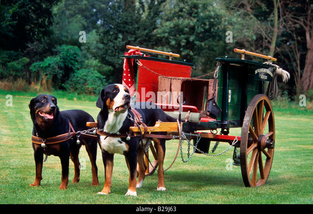 Greater swiss mountain dog pulling - photo#6